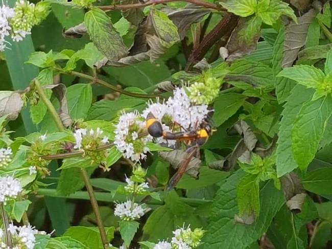 박하나무꽃과 쌍살벌
